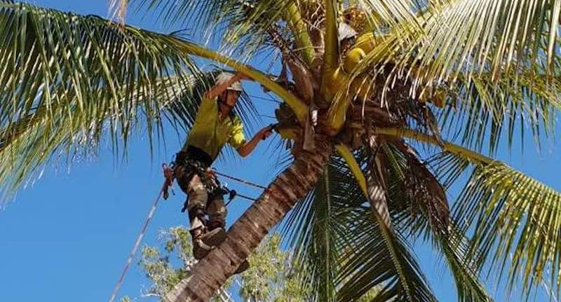 Palm Tree Management Cairns